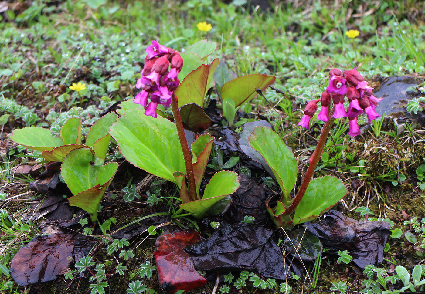Bergenia purpurascens - W/O-0029