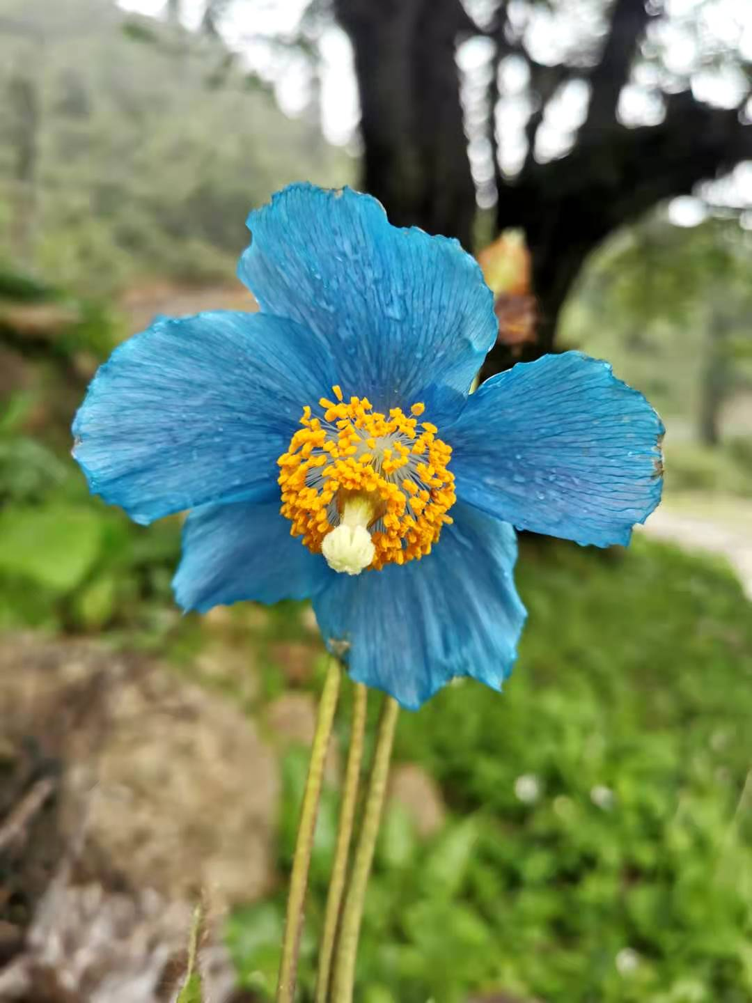Meconopsis baileyi, blue flowered - W/O-0062
