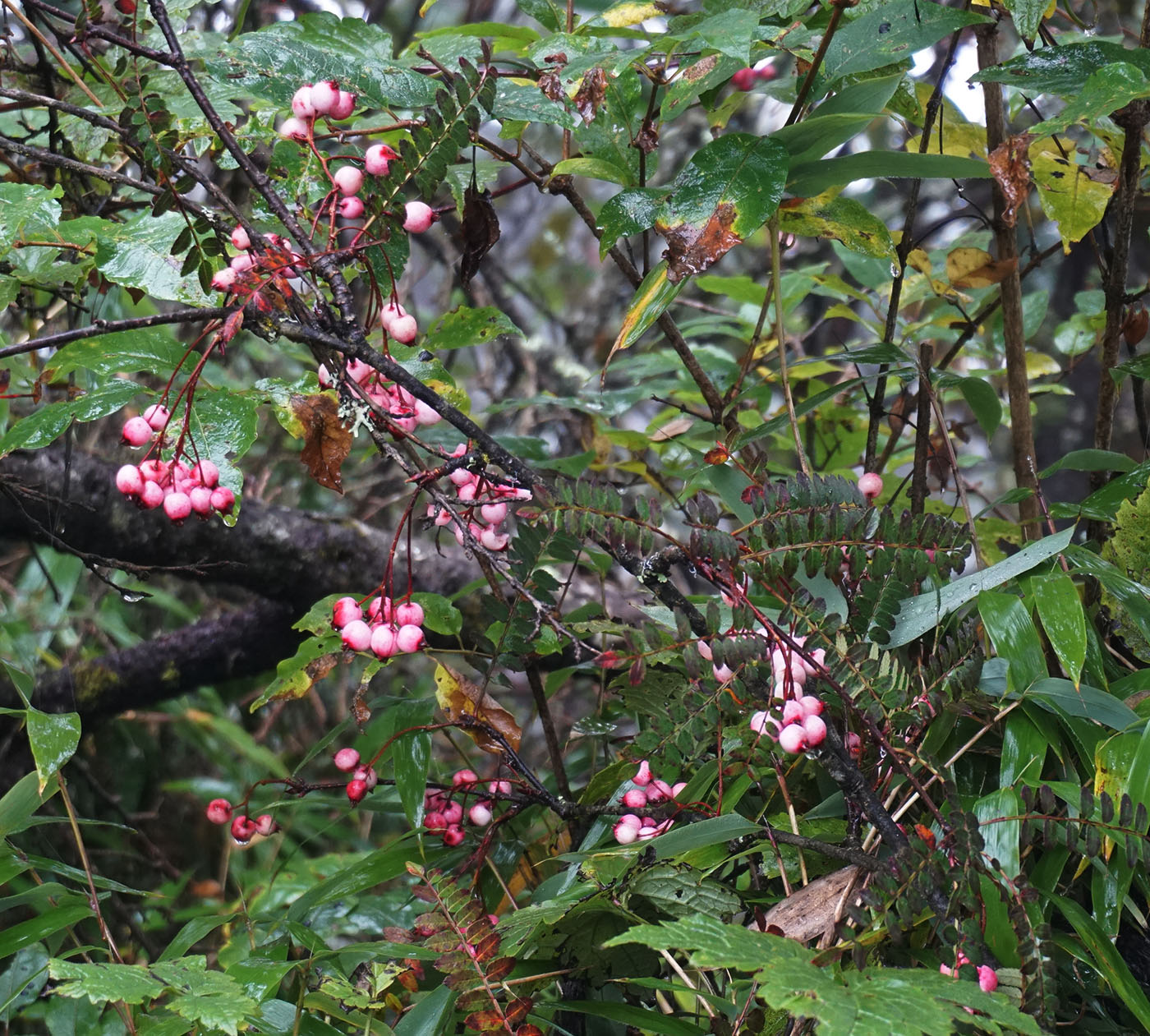 Sorbus sp., pink - W/O-0099