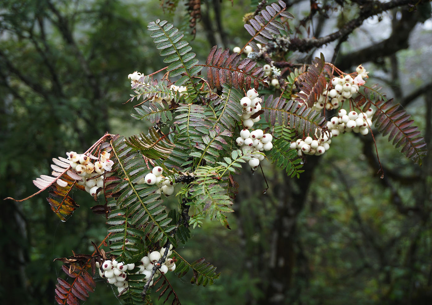 Sorbus sp., white - W/O-0101