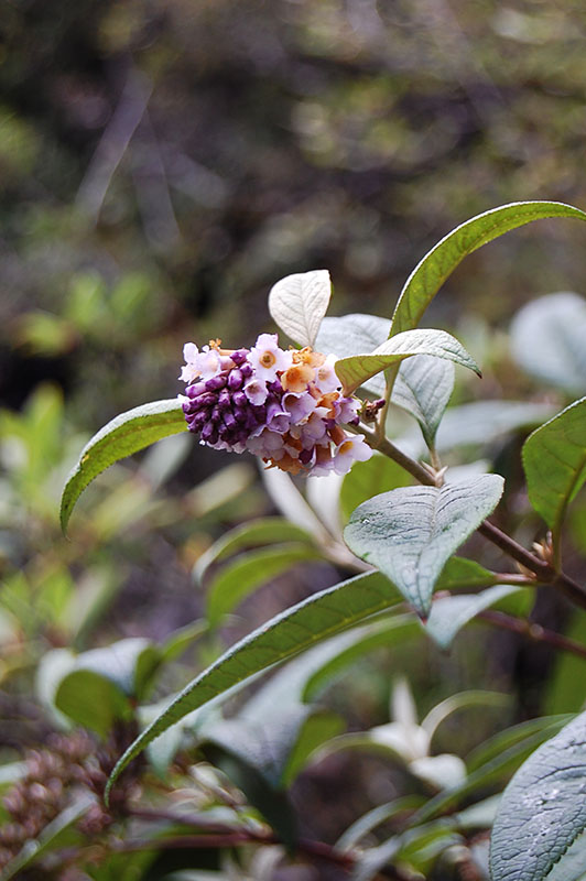 Buddleja limitanea - W/O-8046 - 30% off!