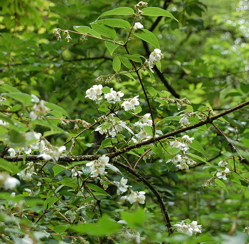 Philadelphus purpurascens - BO-16-107 - 50% off