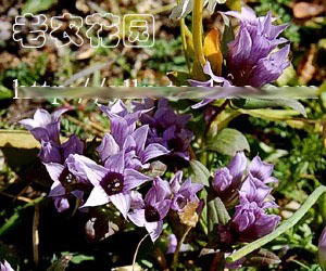Gentianella turkestanorum - BO-15-088 - 50% off