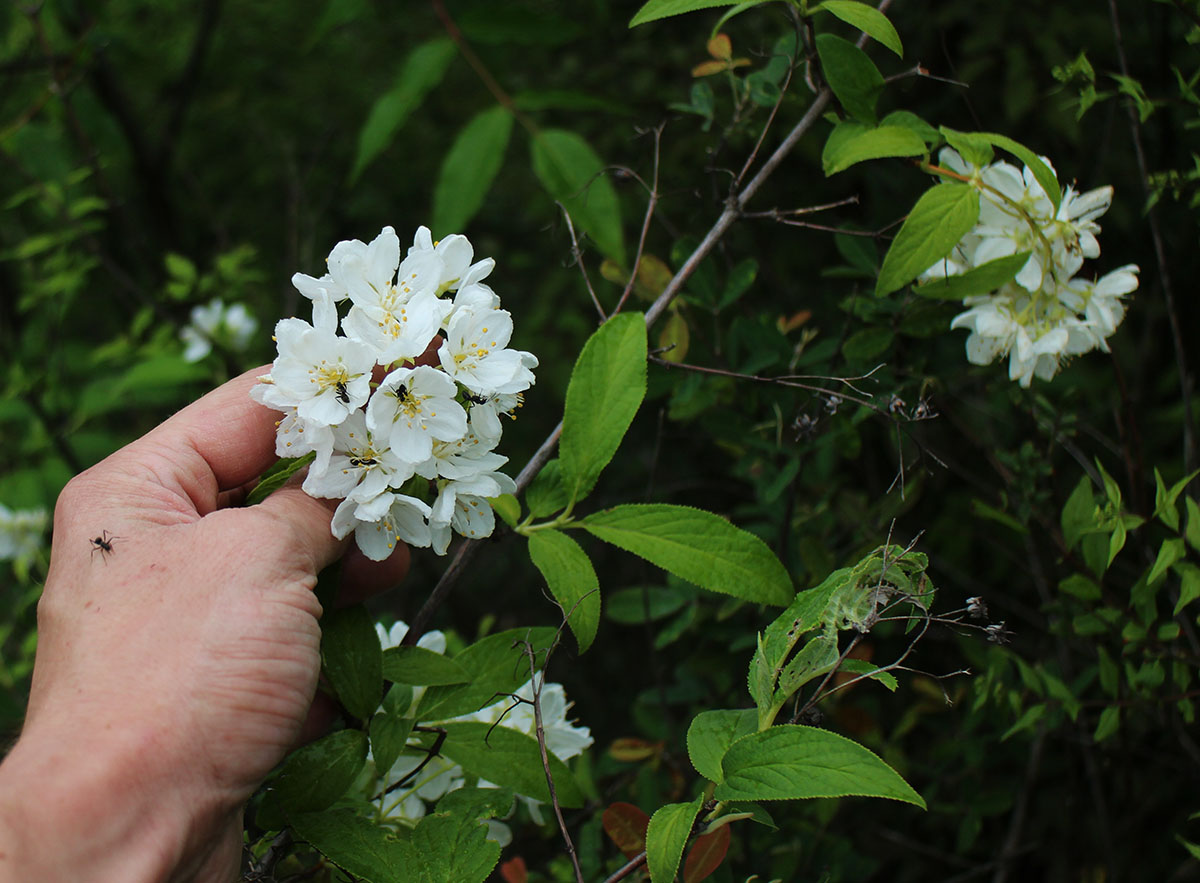Deutzia sp. - BO-15-150 - Clearance sale!