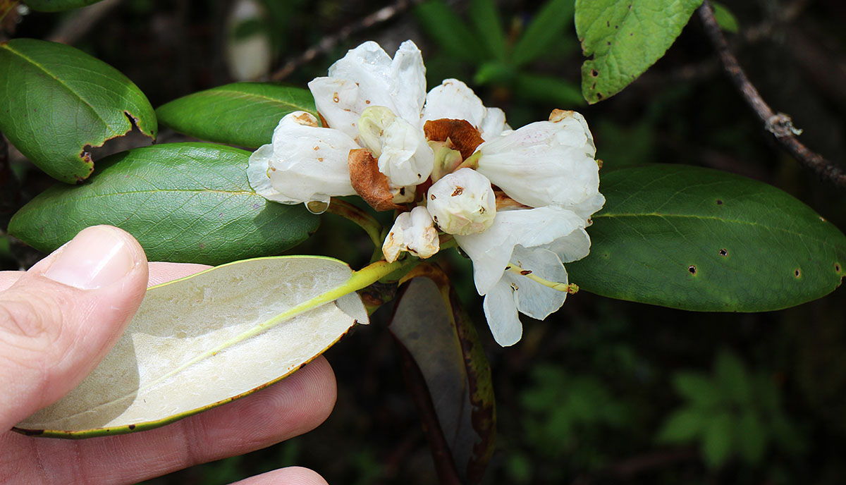Rhododendron sp. - BO-15-185 - 50% off