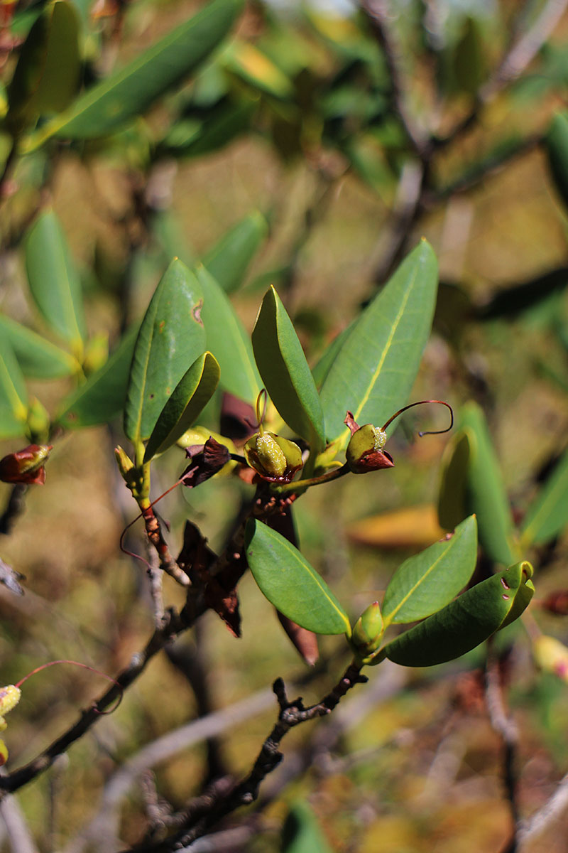 Rhododendron sp. 2 - BO-16-133 - Clearance!