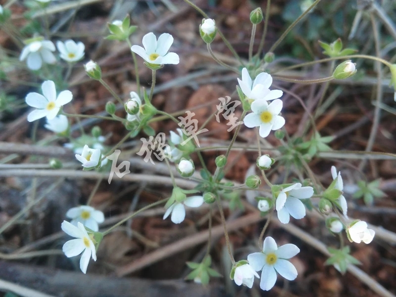 Androsace umbellata - W/O-7015 - 25% off!