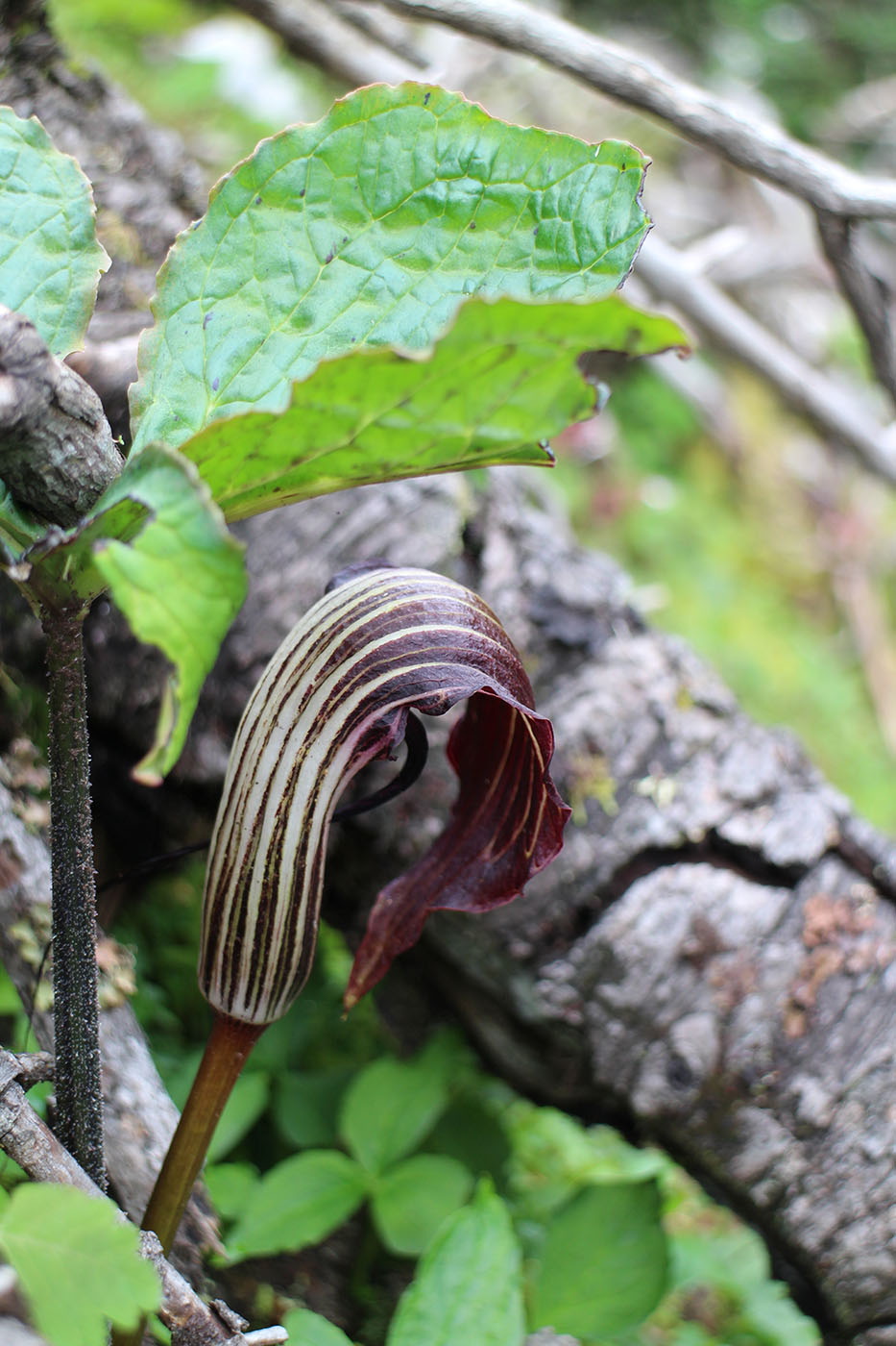 Arisaema elephas - W/O-7032 - 50% off