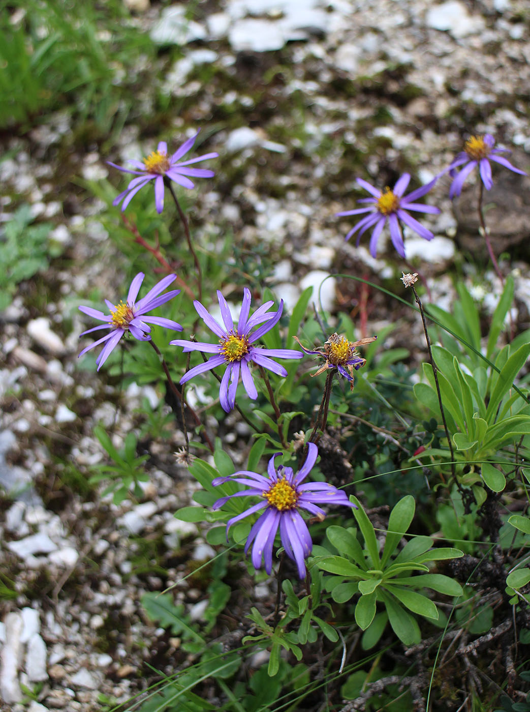 Aster batangensis - W/O-7057 - 25% off