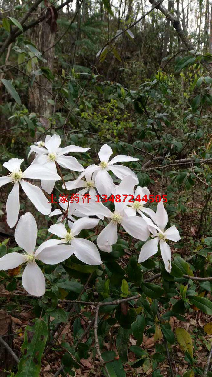 Clematis sp. - W/O-7070 - 50% off