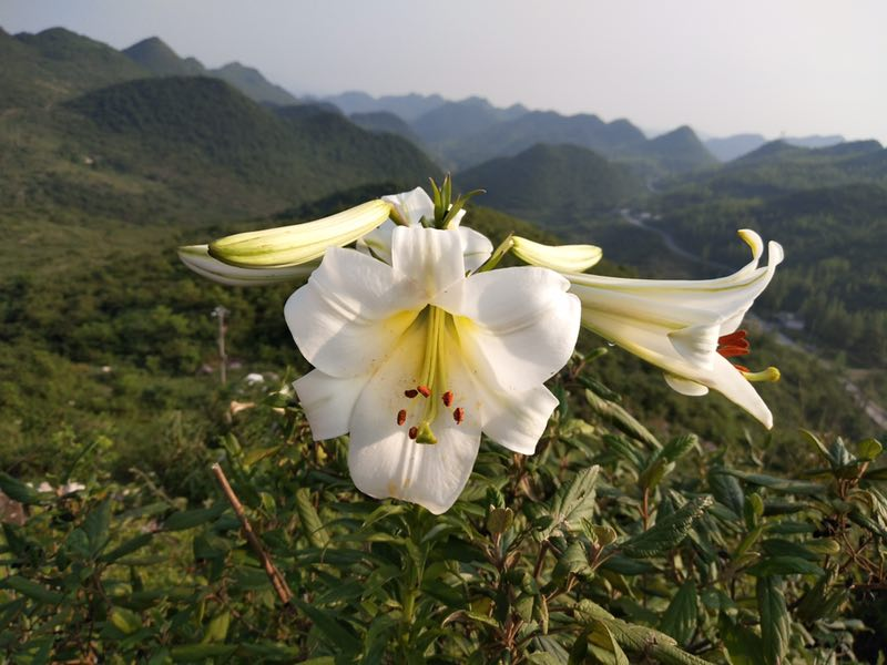 Lilium, white trumpets - Wholesale - W/O-7149 - 25% off