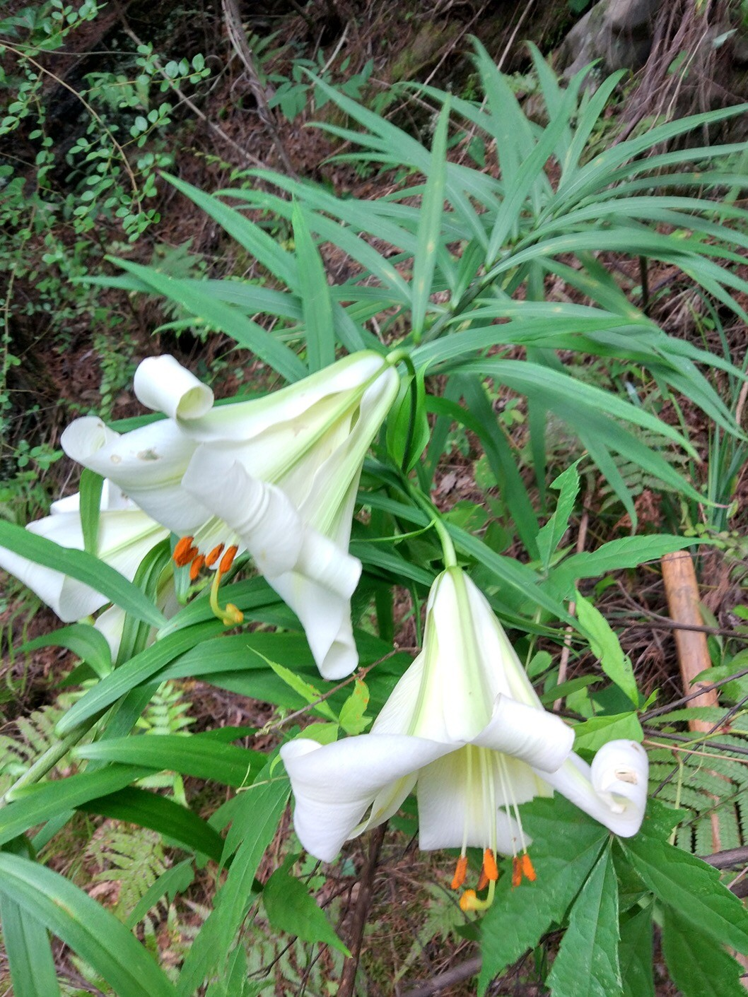 Lilium, white trumpets - Wholesale - W/O-7150 - 25% off