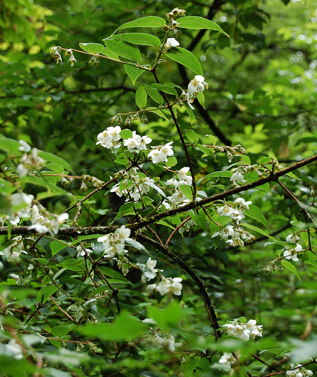 Philadelphus purpurascens - W/O-7192 - 25% off