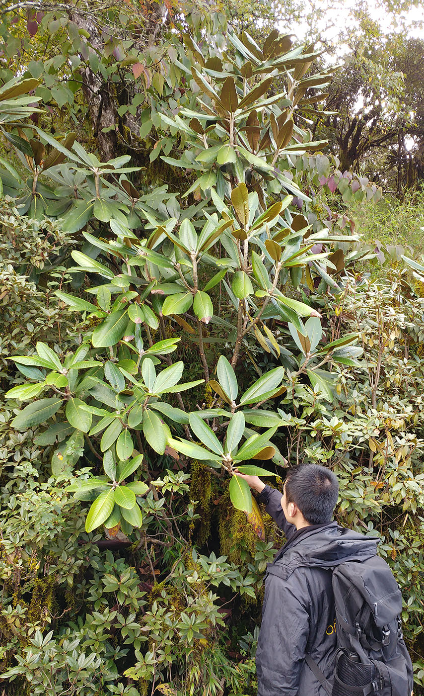 Rhododendron rex - Wholesale - W/O-7234 - Clearance!