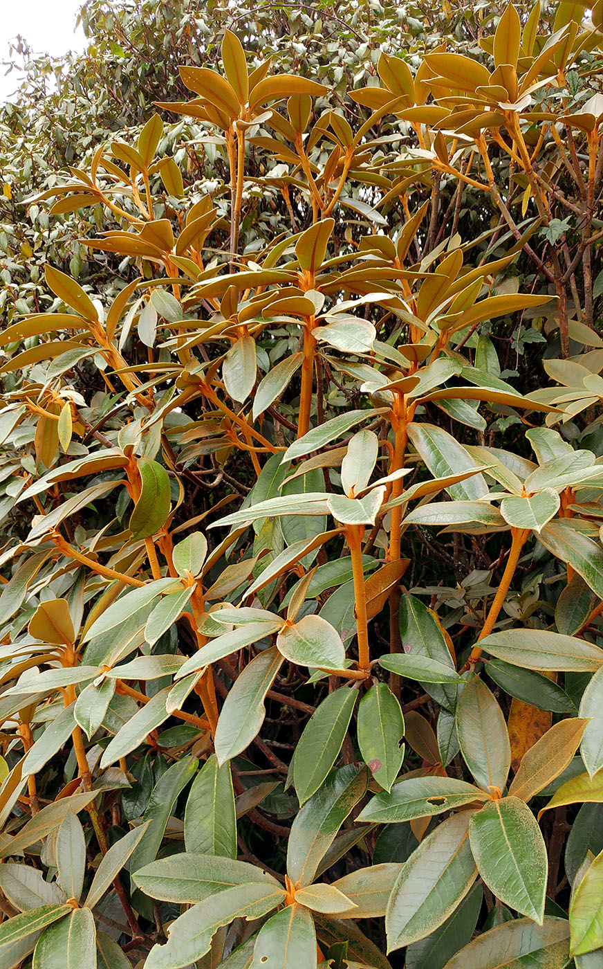 Rhododendron sp. 7 - W/O-7242 - 25% off!