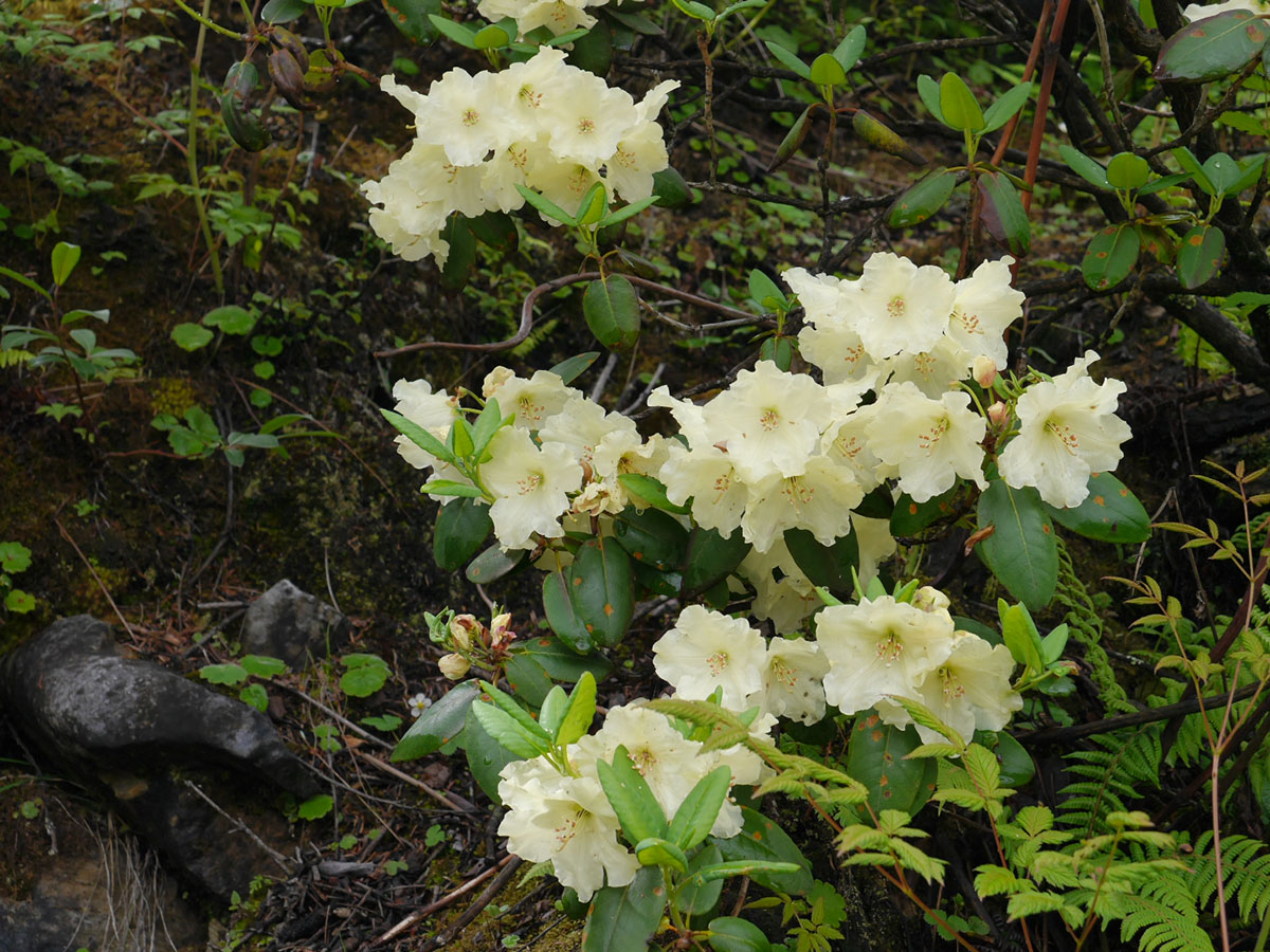 Rhododendron wardii - W/O-7244 - Clearance!