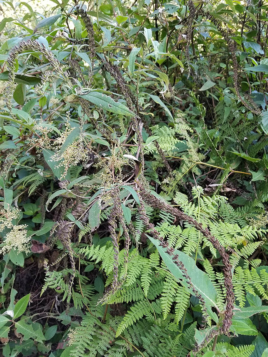 Buddleja sp. - W/O-8047 - 25% off!