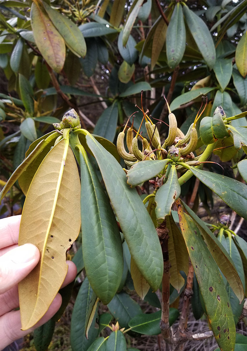 Rhododendron sp. #1 - W/O-8147 - 25% off!