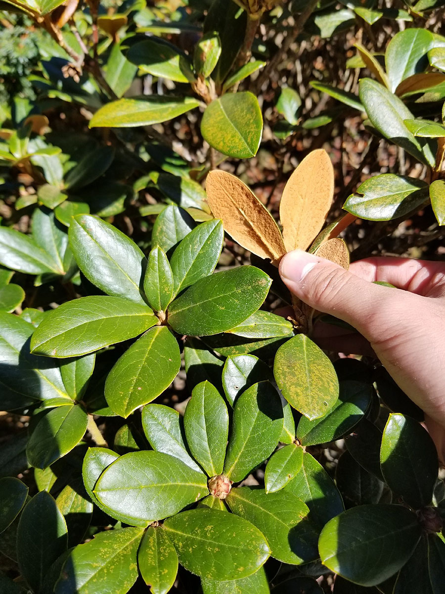 Rhododendron sp. #7 - W/O-8155 - 50% off!