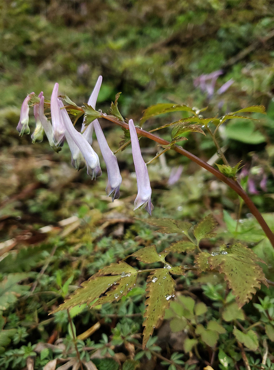Corydalis sp. mix - W/O-9014
