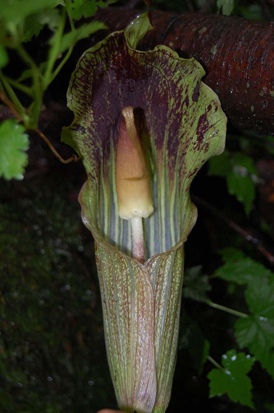 Arisaema sp. Sect. Arisaema - W/O-9074 - 50% off!