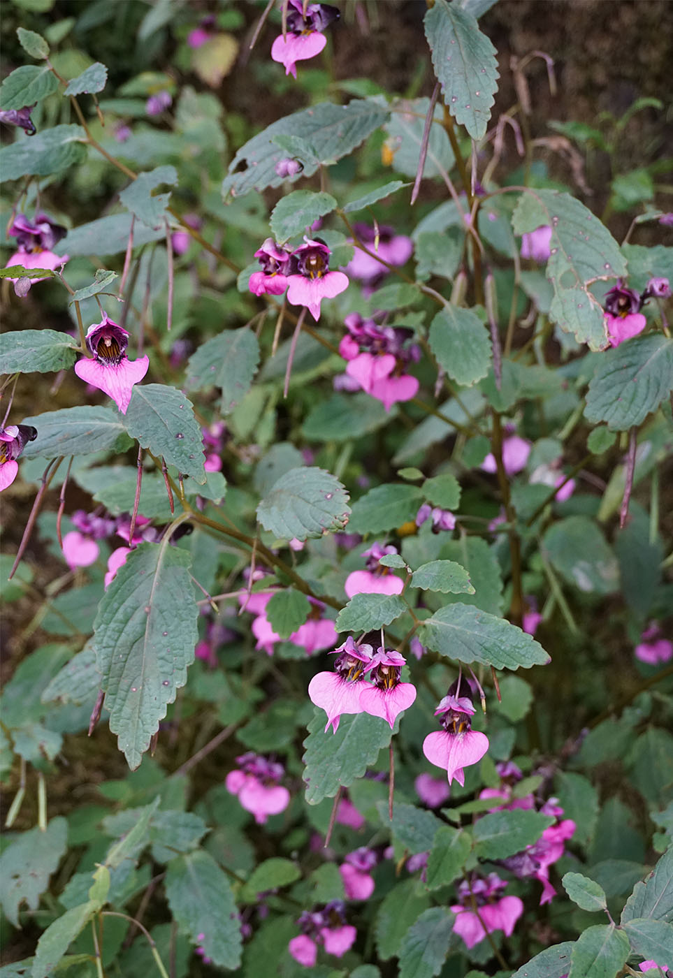 Impatiens delavayi, purple - W/O-9134