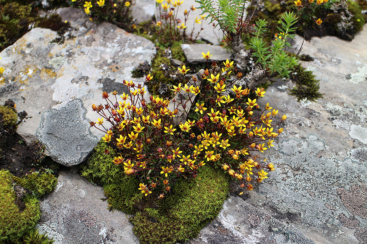 Saxifraga sp. - W/O-9227 - 30% off!