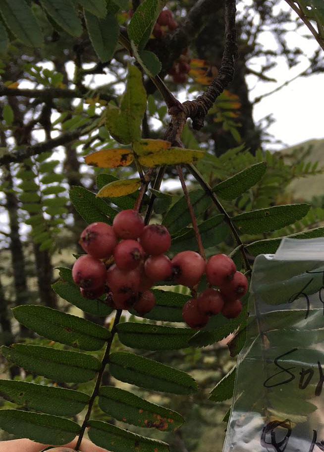 Sorbus sp., pale pink fruits - W/O-9243