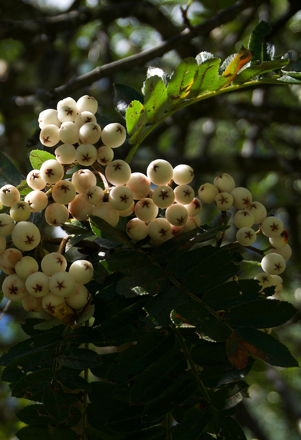 Sorbus sp., white fruits - W/O-9244