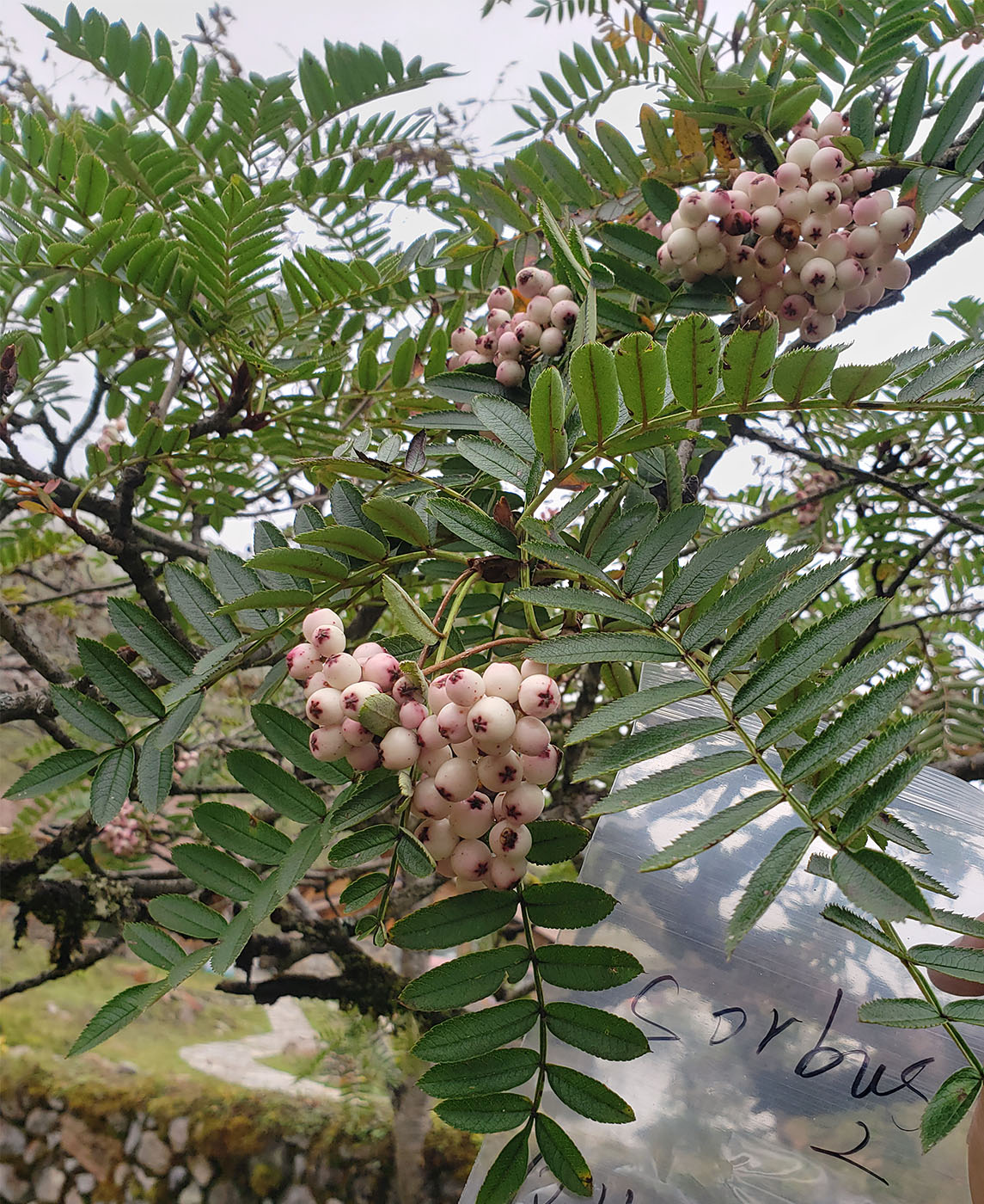 Sorbus sp., white fruits - W/O-9245