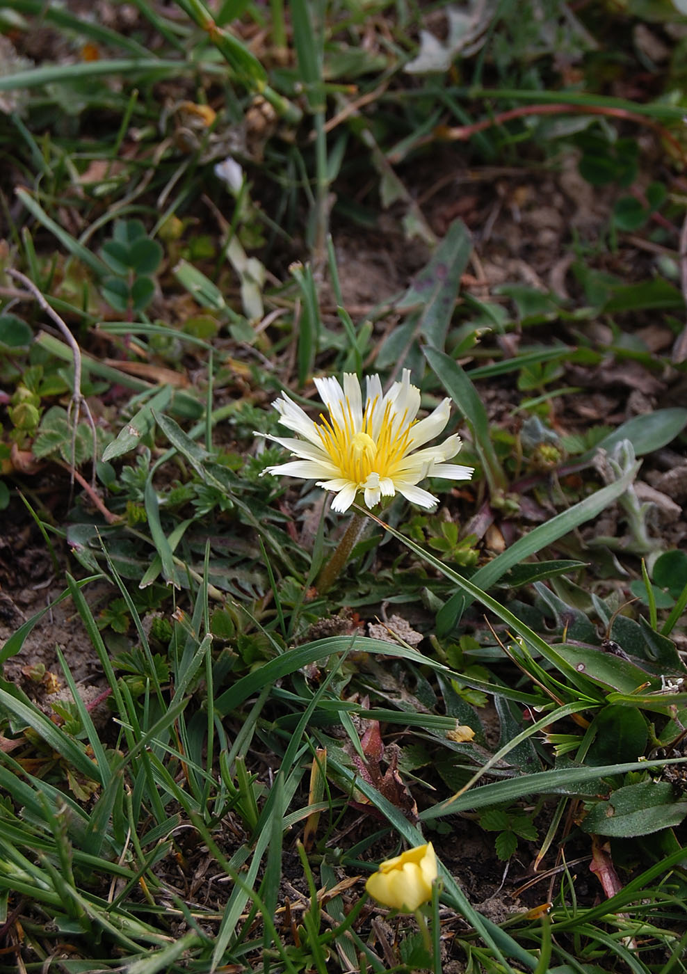 Taraxacum mixed sps. - W/O-9253 - 30% off!