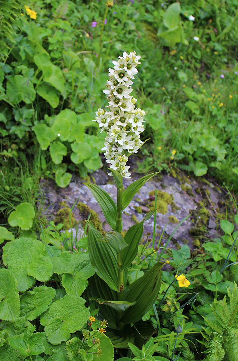 Veratrum sp. - W/O-9261 - 50% off!