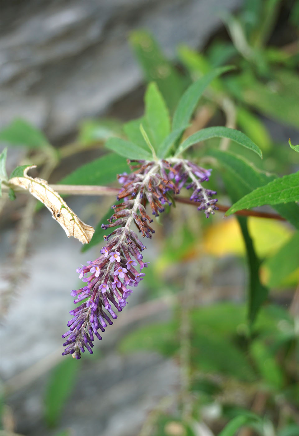 Buddleja sp. (Chaff!) - W/O-9270 - 50% off!