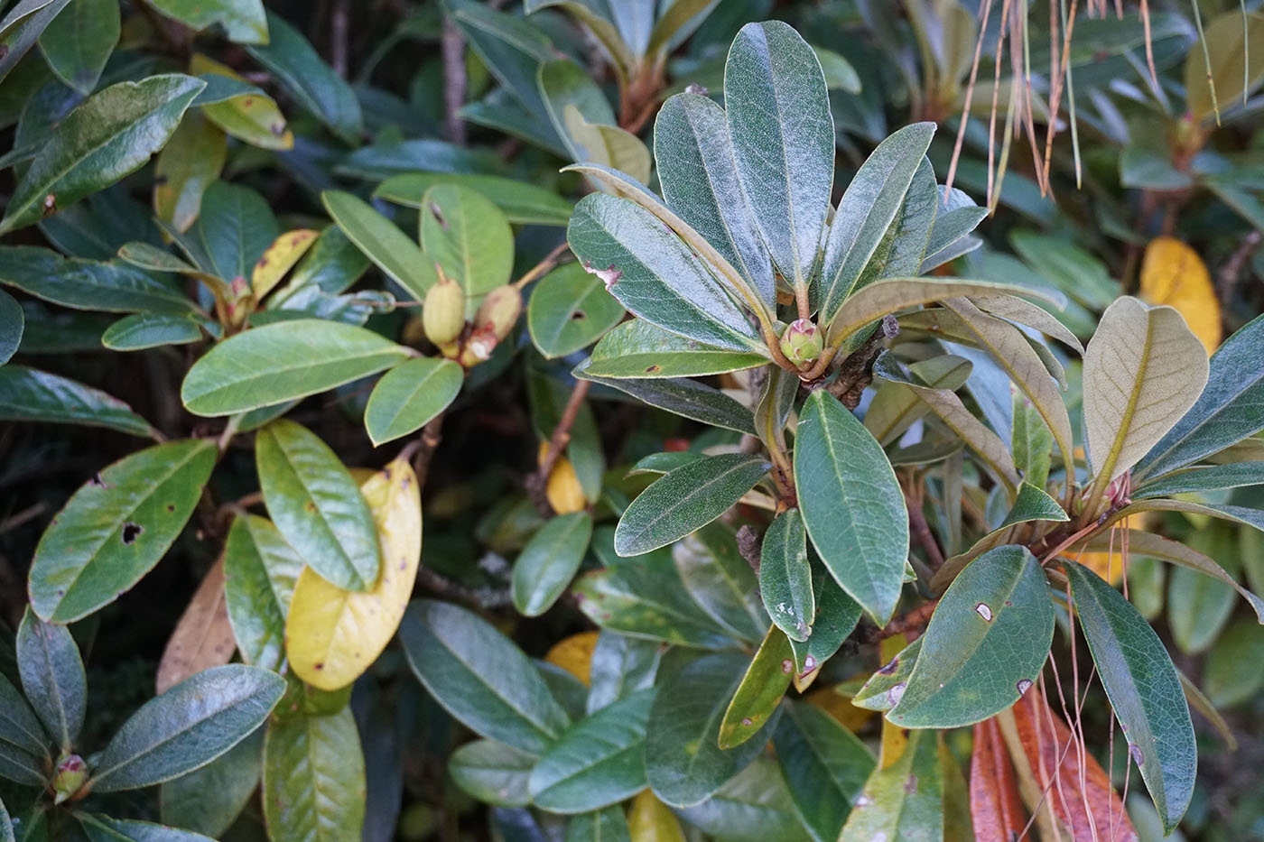 Rhododendron sp. - W/O-9286 - 30% off!