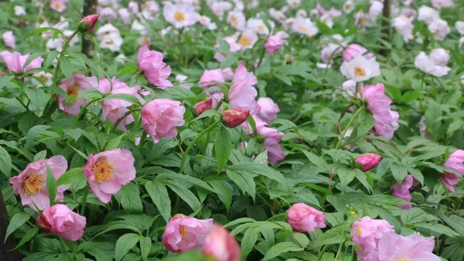 Paeonia mairei - Wholesale - W/O-8118 - 50% off!